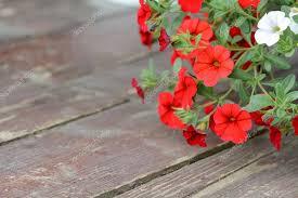 petunia flowers flower petunia wallpaper petunia flowers in the garden