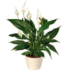 top indoor plants best air filters for homepeace lily top