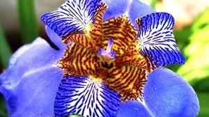 Iris by A Blue Iris Flower Youtube