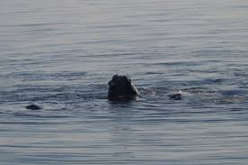 right whale deaths in gulf of st lawrence