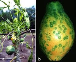 Symptoms Of Viral Diseases In Plants - papaya ringspot virus