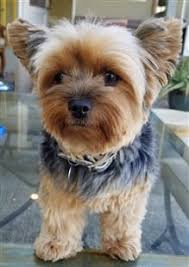yorkie teddy bear face haircut yorkshire terrier information center yorkie allergies
