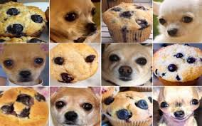 Meme Chihuahua - chihuahua or muffin internet goes crazy for animals v food trend