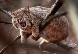 Illinois hunters take 141 bobcats in inaugural season news the
