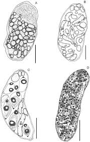 sp cialit africaine cuisine morphology and molecular analysis of cycle stages of proctoeces