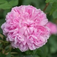 Most Fragrant Plants - most fragrant roses david austin roses