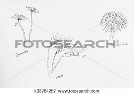 stock illustration of pencil drawings of seed heads cow parsley
