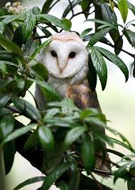 barn owl in tree mcgibbon gallery turbary woods