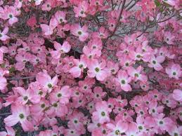 Trees With Pink Flowers Amazon Com 5 Flowering Pink Dogwood Cornus Tree Seeds By