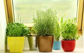 herbs indoors how to grow herbs indoors dummies