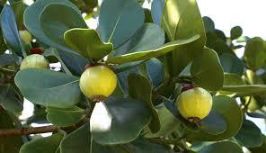 florida native plants for sale clusia rosea miami south florida treeworld wholesale