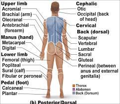Human Anatomy And Physiology Chapter 1 Anatomy U0026 Physiology Chapter 1 Flashcards Easy Notecards