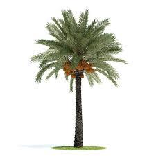 phoenix dactylifera palm tree 3d cgtrader