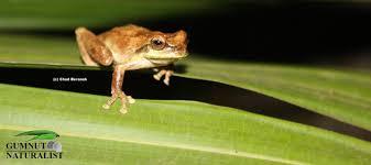 jervis bay tree frog gumnut naturalist
