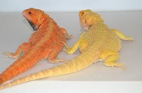 citrus bearded dragons dachiu bearded dragons