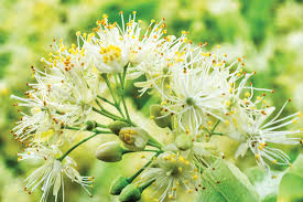 linden flower the mythical medicinal linden herb plant profiles heirloom