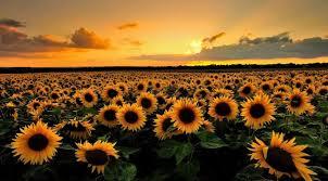foto wallpaper bunga matahari 3 fakta unik dan menarik tentang bunga matahari news lewatmana com