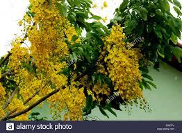state flower of kerala stock photos u0026 state flower of kerala stock