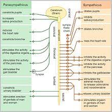 Ans Anatomy And Physiology Autonomic Nervous System Wikipedia