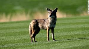 Coyote In My Backyard Coyotes May Soon Be Hanging Out In Your Backyard U2013 This Just In
