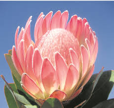 Protea Flower Of Proteas And Pincushions News24