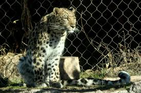 Zoo Lights Salt Lake City by Update Hogle Zoo Official Explains How Leopard Escaped From