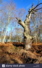 sherwood forest oak autumn stock photos u0026 sherwood forest oak