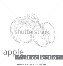sketch big tomato lobules picture by stock vector 102818420