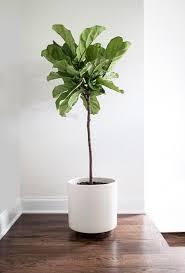 best 25 fiddle leaf tree ideas on fig plant indoor