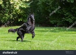 belgian sheepdog groenendael puppies beautiful groenendael dog puppy running spring stock photo
