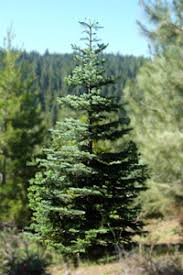 silvertip summit forest products wholesale trees