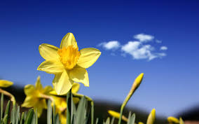 100 daffodil website 57 best paintings daffodils images on