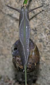 Where Can You Find Snails In Your Backyard All About Land Snails Welcome Wildlife