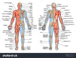 Body Anatomy Back Human Anatomy Diagram From The Back View Human Organ Anatomy Back