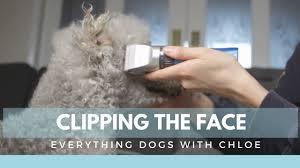 bedlington terrier guide how to trim a dog u0027s face bedlington terrier grooming series