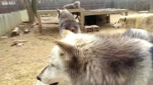 wolf habitat wolf and human interaction youtube