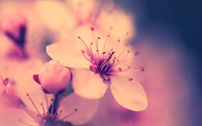 cherry blossom flowers cherry blossom flower 30537 1920x1200 px hdwallsource