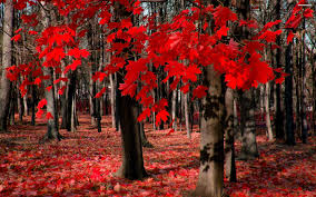 stunning red maple leaves autumn hd background wallpaper