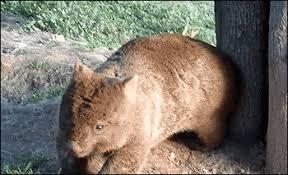 Wombat Memes - wombat butt scratch gif on imgur