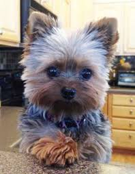 teacup yorkie haircuts pictures 1652 best yorkshire terrier images on pinterest doggies teacup