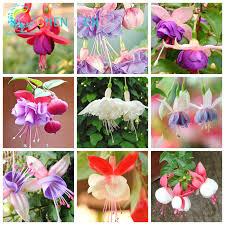 lantern flower aliexpress buy free shipping 100pcs fuchsia hybrida hort