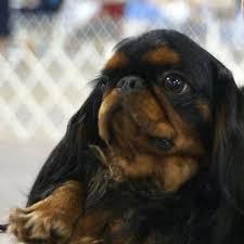 affenpinscher jakt 179 best puppies images on pinterest