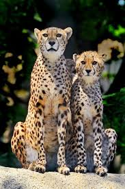 affectionate cheetahs wallpapers 274 best cheetahs images on pinterest cubs smile and wildlife