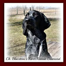 bluetick coonhound price bluestone blueticks bluetick coonhound breeder pipestem west