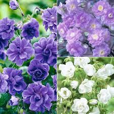 fleurs vivaces rustiques comparer les prix sur summer flowers perennials online shopping