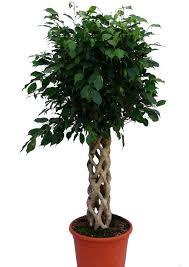 low light indoor trees best indoor tree plant portalsmo club