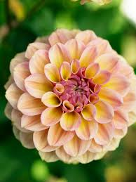 dahlias flowers 50 dahlias to drool sunset magazine
