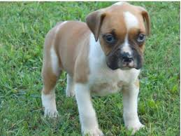 boxer dog price boxer for sale petsale inc