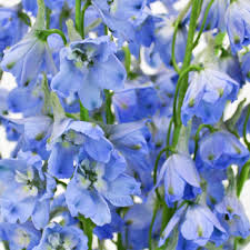 delphinium flower blue delphinium flower