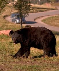 Are Bears Color Blind Animals U2013 Bear Country Usa
